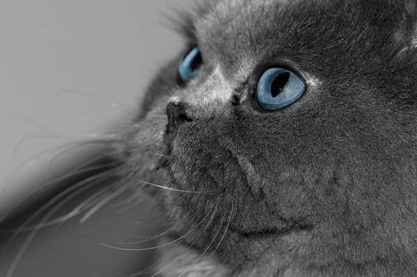 Как назвать британского котенка-мальчика? Выберите что-нибудь английское!