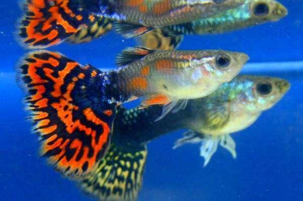Гуппи рыбки фото уход