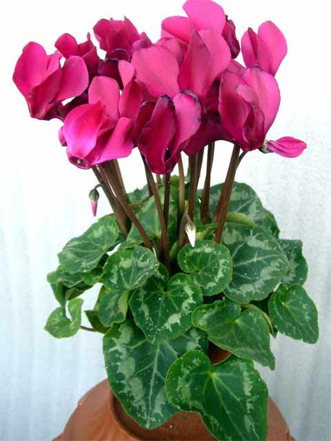Цветы комнатные цикламена