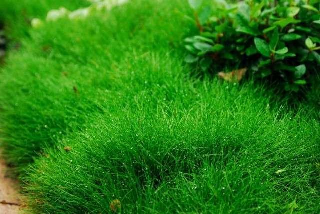 купить газонная трава пошла в колос что делать месяца