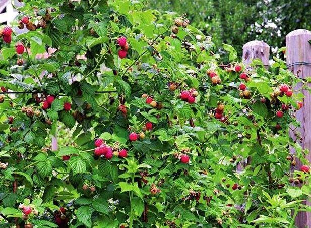 Сроки и выбор места для посадки малины