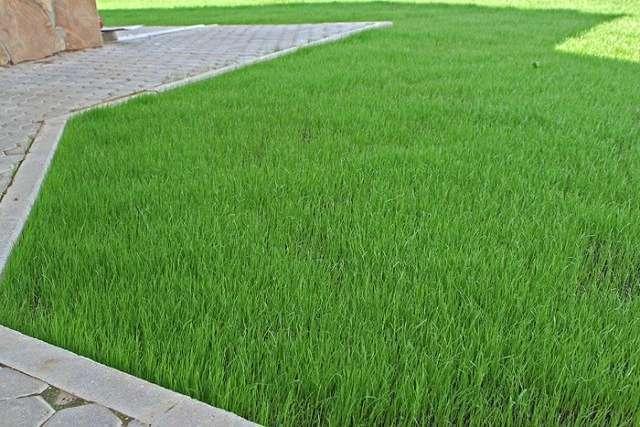 Когда сажают газонная трава лилипут 533
