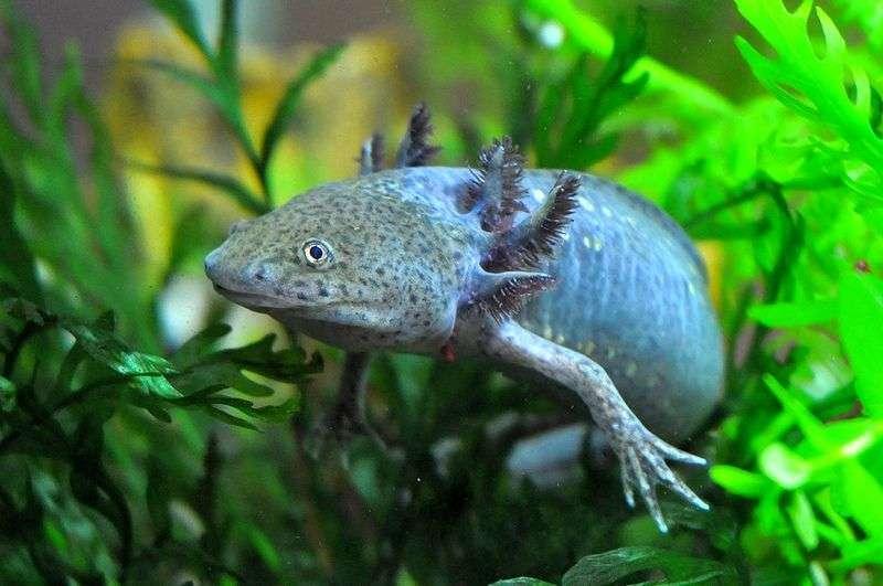 Аксолотль: содержание в аквариуме с рыбками