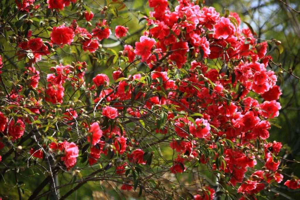 Камелия японская для сада