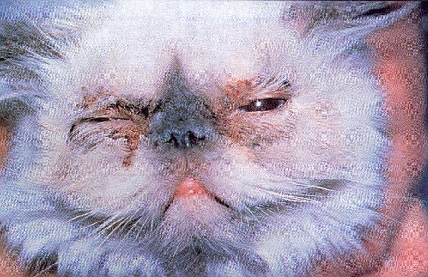 У кота слезятся глаза, сопли и чихает: что делать?