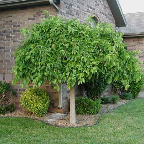 Шелковица дерево как сажать 95