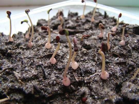 Цикламен с семян в домашних условиях