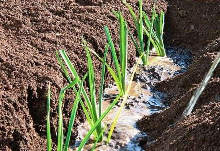 как посадить порей на рассаду правильно