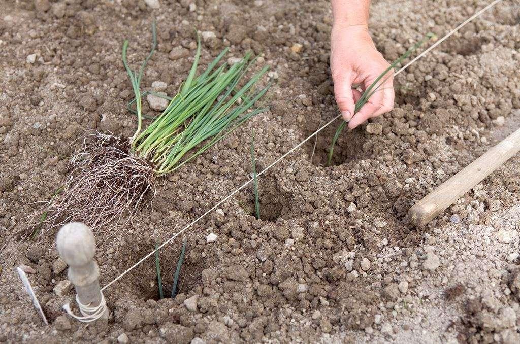 когда нужно садить гладиолусы на рассаду