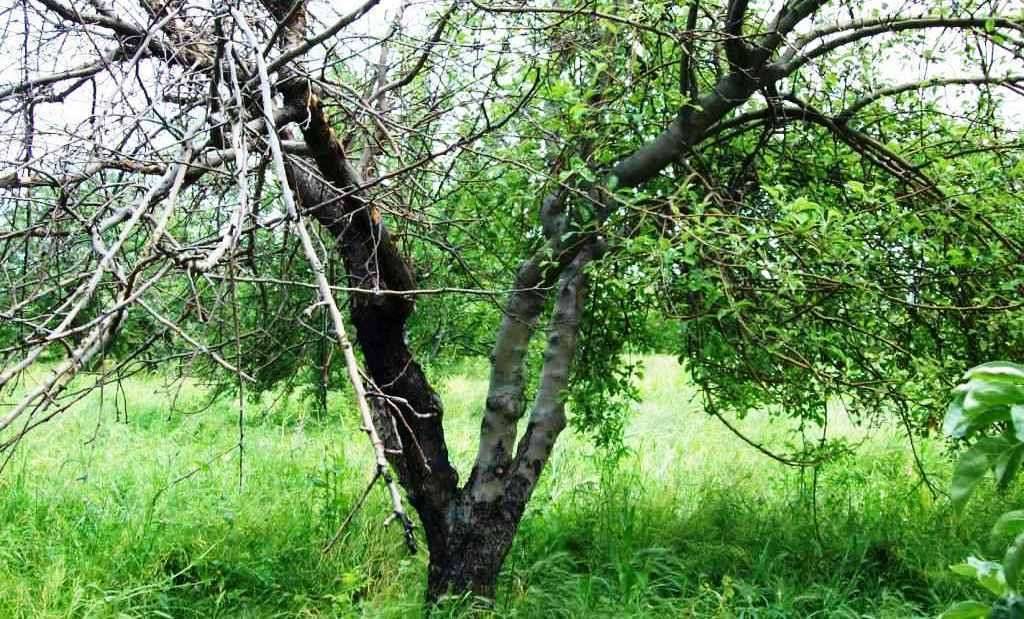 лечение яблонь от рака