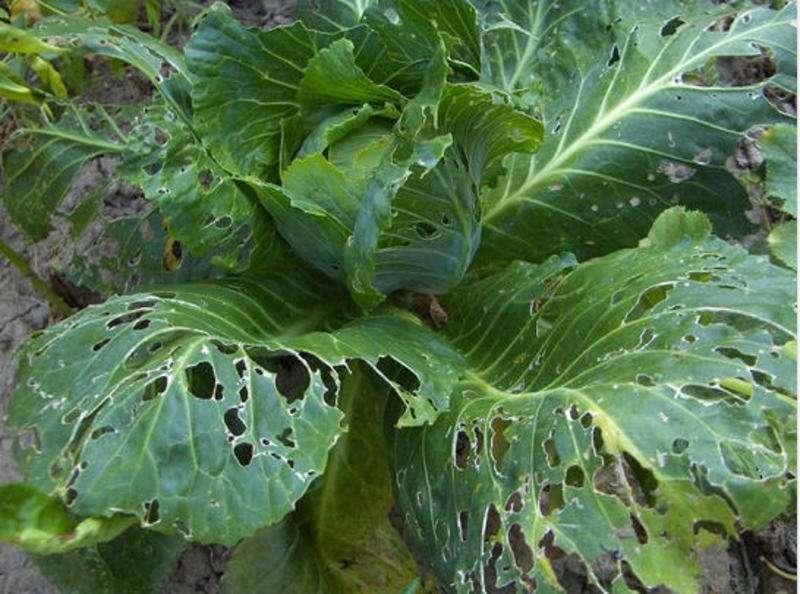 дырки на листьях капусты народные средства
