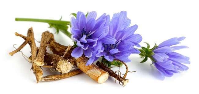 Полезные свойства травы цикорий