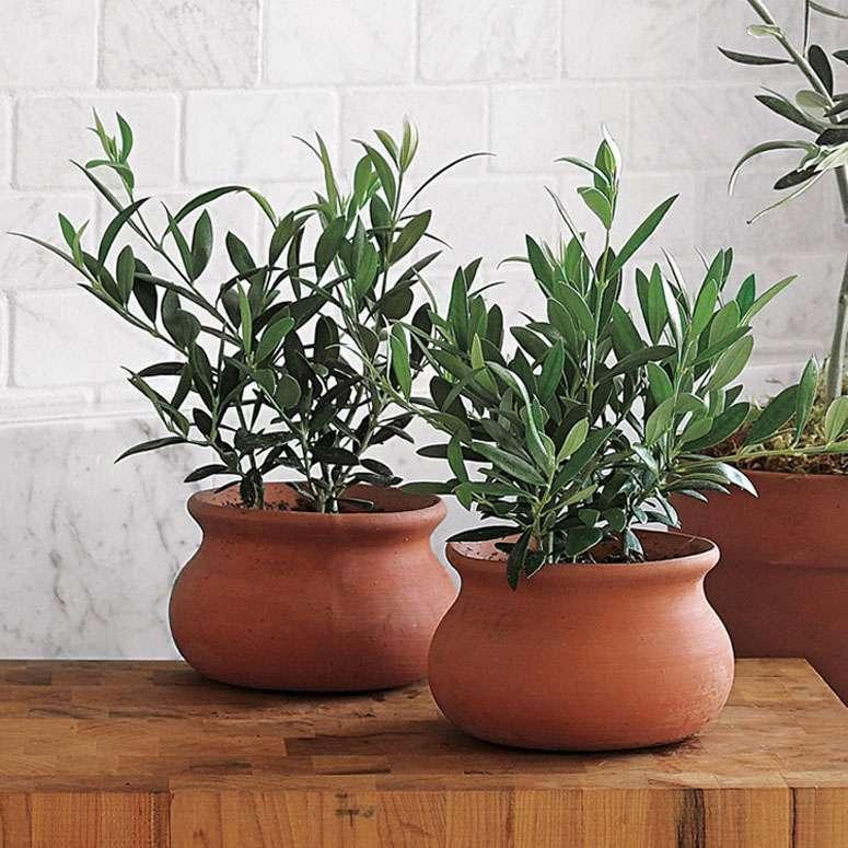Как выращивать оливковое дерево в домашних условиях