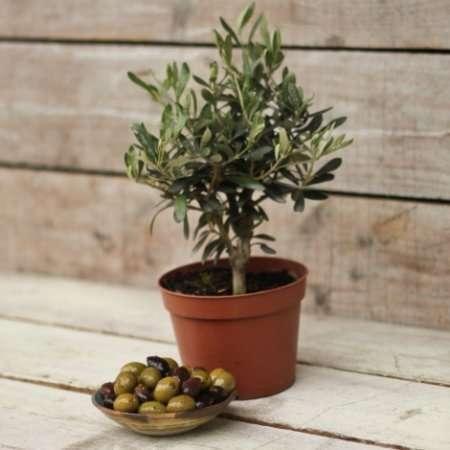 """Как вырастить оливковое дерево в домашних условиях? - журнал """"Рутвет"""""""