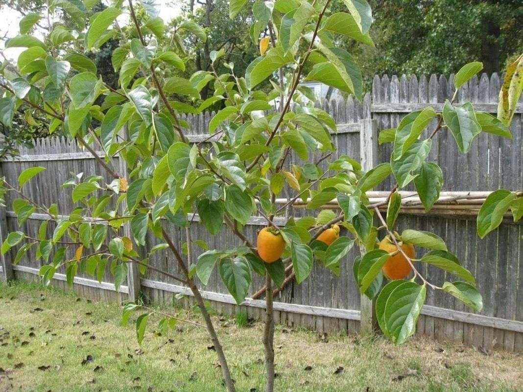 хурма в беларуси выращивание в открытом грунте