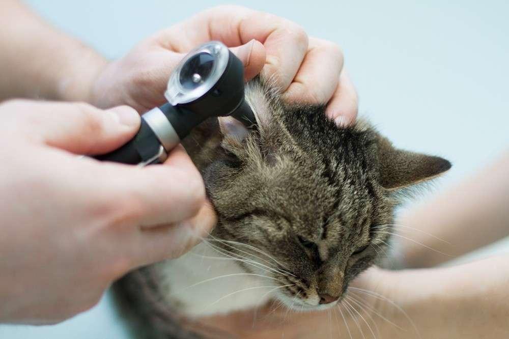 Лечение отита у кошек в домашних условиях