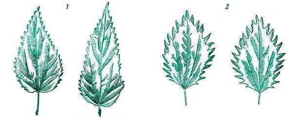 Внешние отличия крапивы жгучей и двудомной