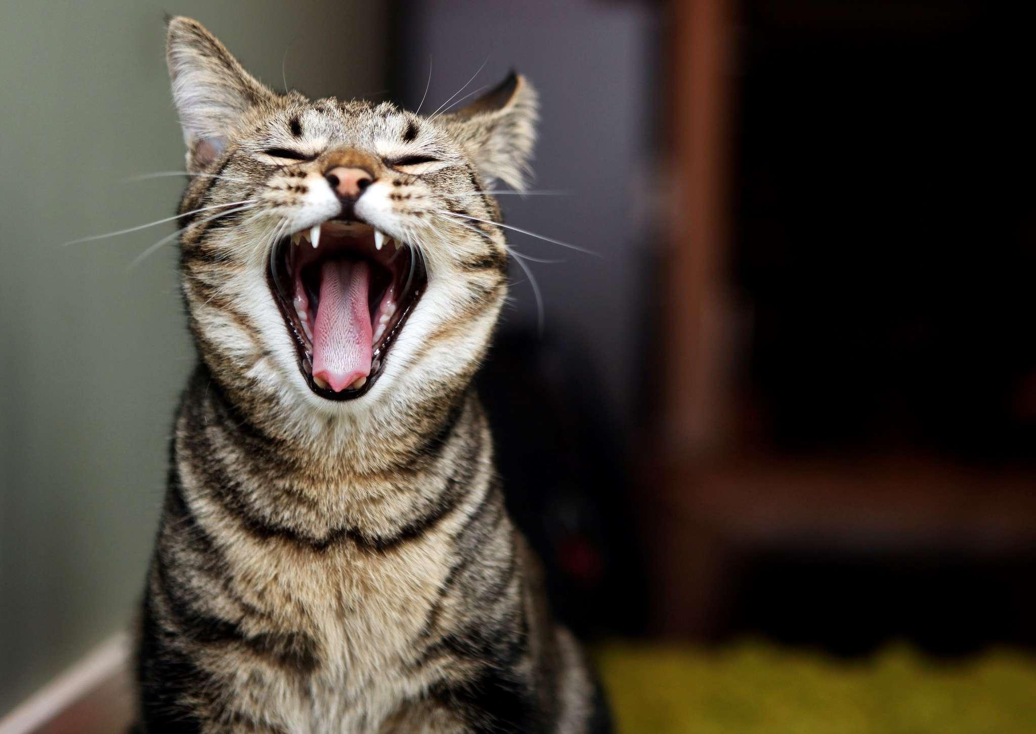 Как разобраться в том, почему кастрированный кот орёт без причины