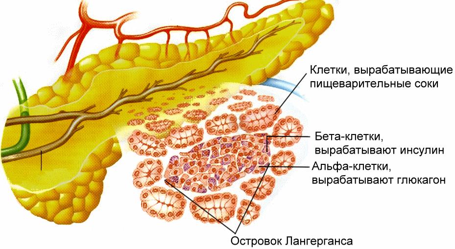 Размер поджелудочной железы: норма у взрослого