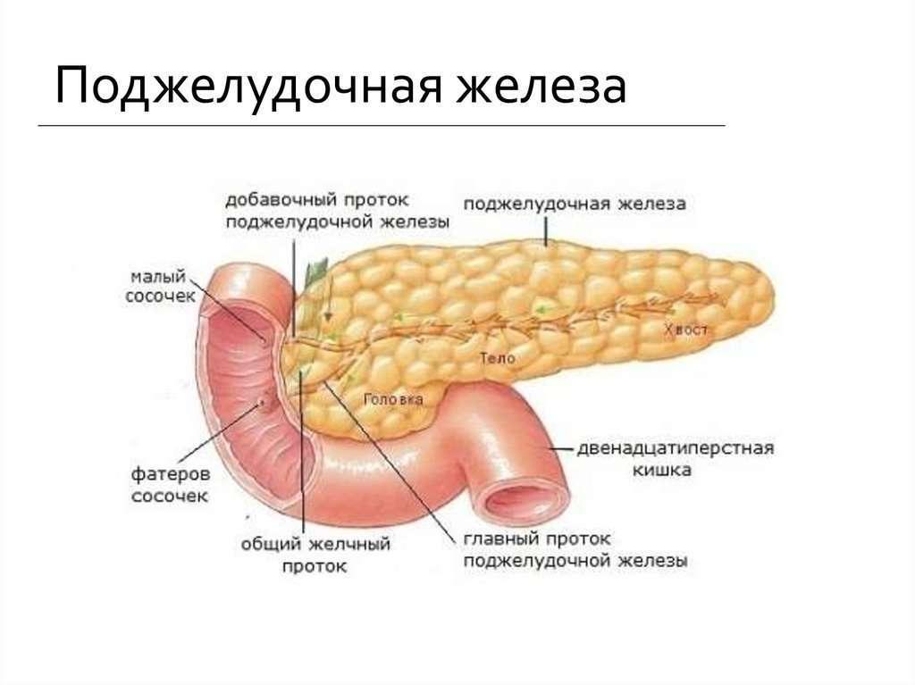 Влияние поджелудочной железы на организм