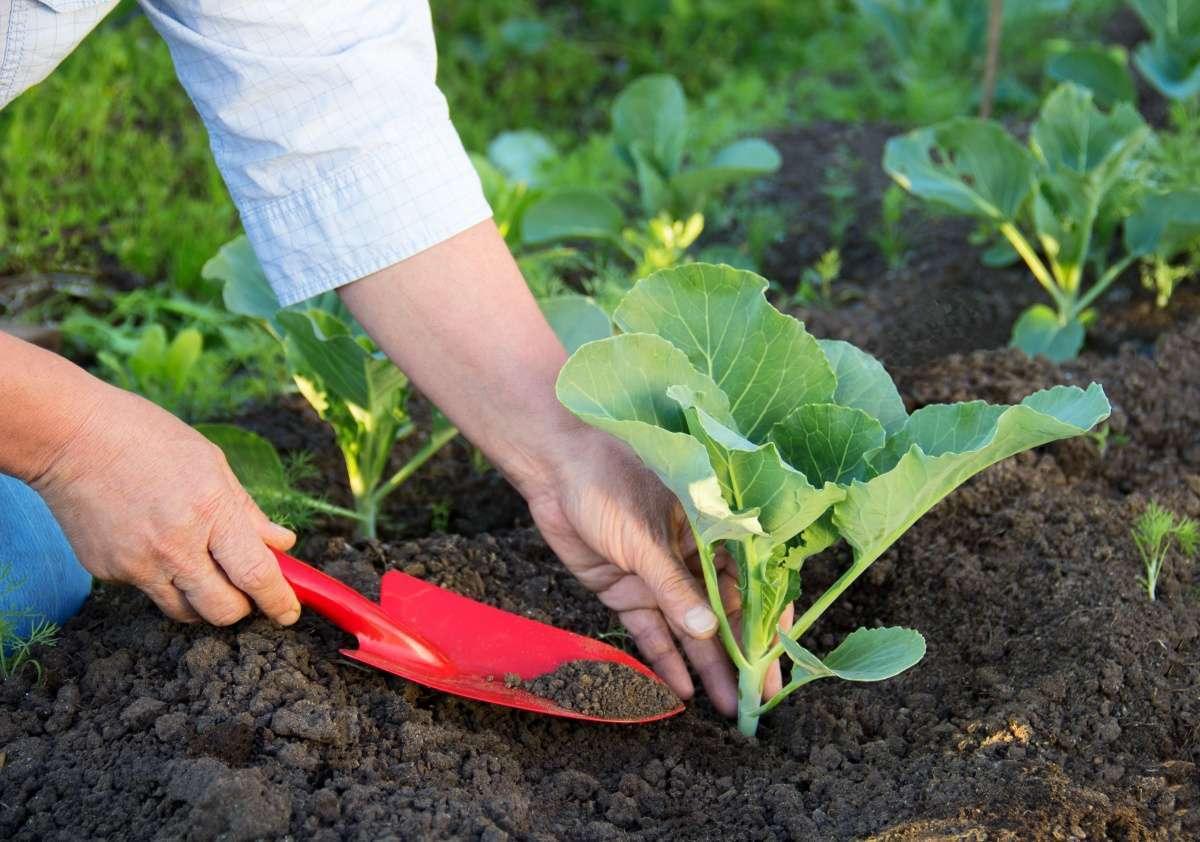 Посадка кольраби в открытый грунт рассадой 13