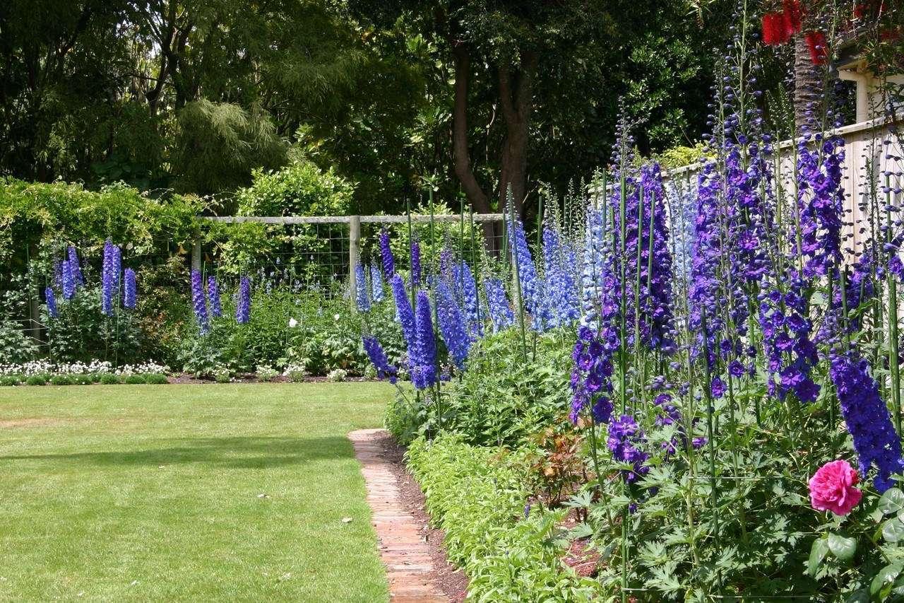Садовые цветы дельфиниум: фото, описание, посадка, уход в 18