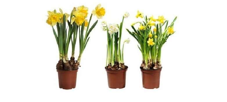 Нарциссы уход и выращивание в домашних условиях