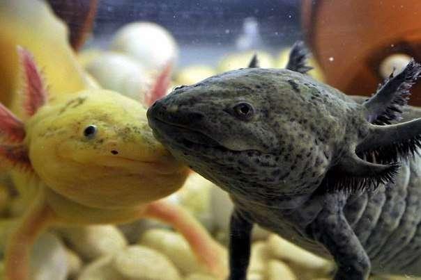 Аксолотль: содержание с другими рыбами