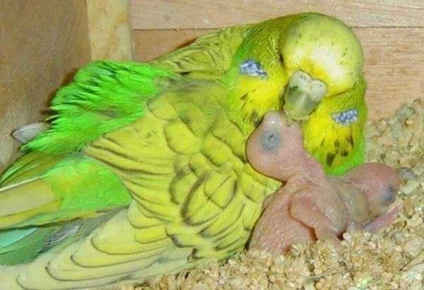 Попугай с птенцами