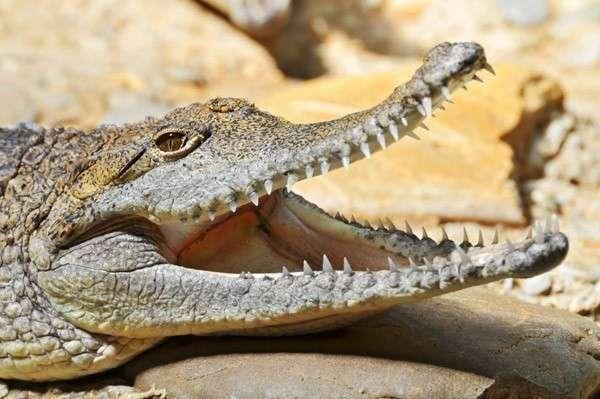 7. Крокодил