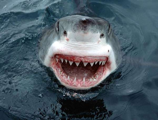 6. Белая акула