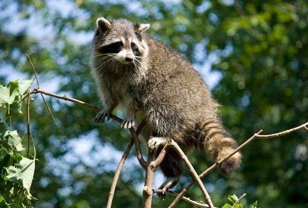 Еноты отлично лазают по деревьям