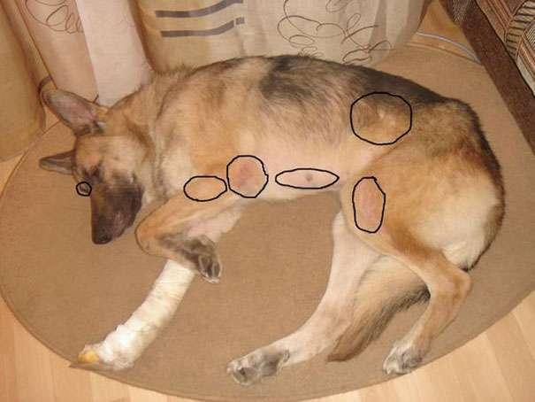 Собака Линяет И Похудела.