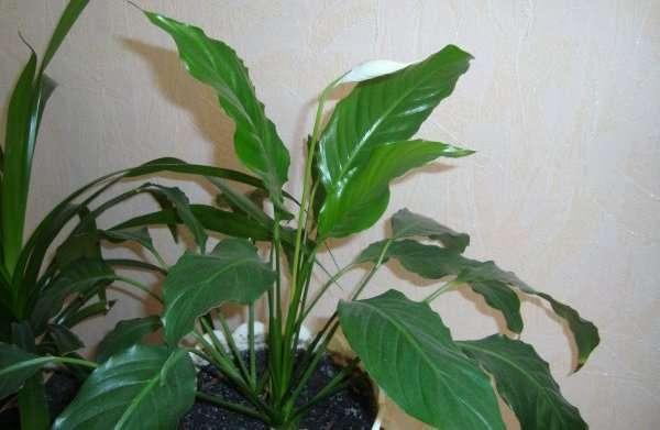 """Домашний цветок спатифиллум: выращивание и уход - журнал """"Рутвет"""""""