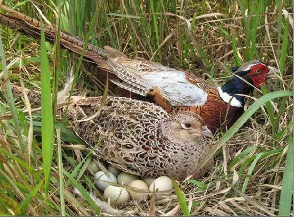 Как поймать фазана ловушками и сделать их своими руками