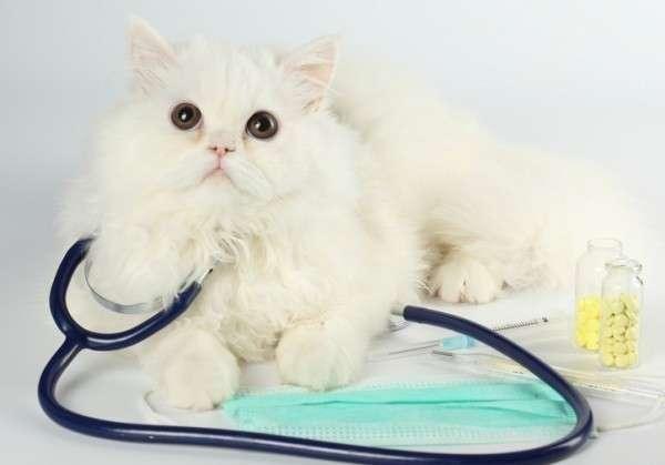 Болезнь любимой кошечки - всегда неприятное явление, старайтесь не допускать заражения