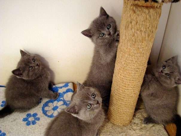 Британские котята продажа, купить шотландского котенка ...