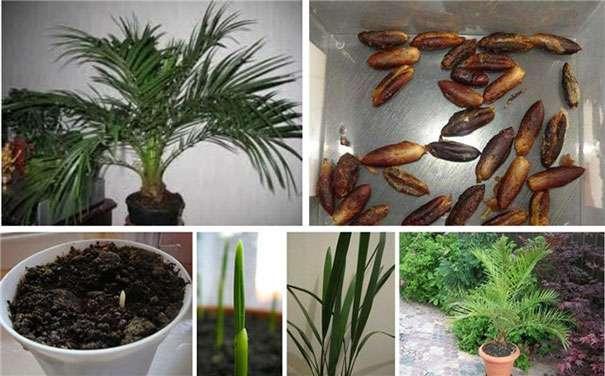 Как размножить финиковую пальму в домашних условиях