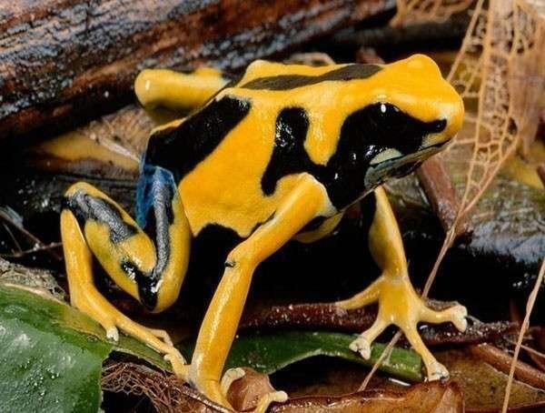 4. Ядовитые лягушки