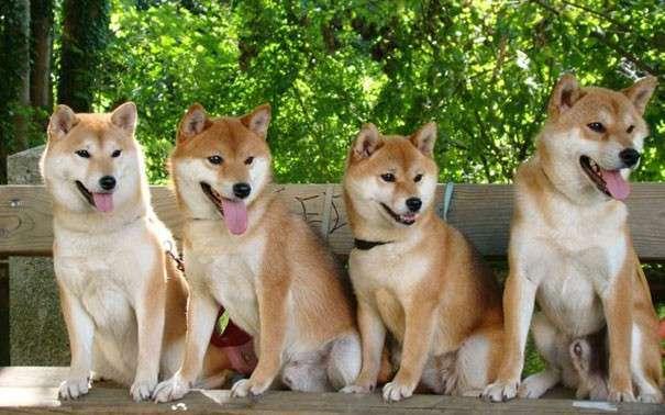 Акитаину японская фото собаки цена описание породы
