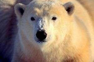 Чего боятся белые медведи?