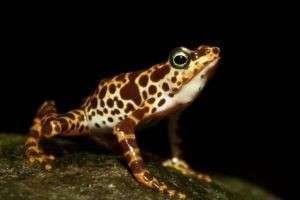 Опаснейшая пятнистая ядовитая лягушка в дикой природе и дома