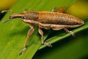Самые опасные жуки в мире водятся в России и могут всерьез угрожать здоровью человека!