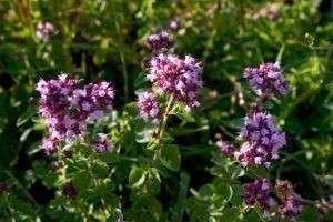 Полезные свойства душицы: энциклопедия лечебных трав