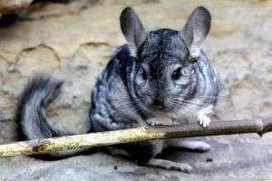 Шиншилла – животное, отзывы о котором связаны с условиями его содержания в домашних условиях и ценой