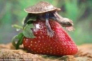 Как сделать черепаху?