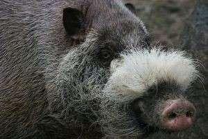 Бородатая свинья: отличительные особенности, места обитания