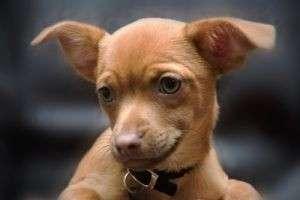 Чем кормить чихуахуа — огромное количество советов по питанию  и рецептов для маленькой собачонки