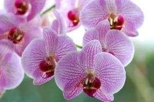 Не знаете, почему желтеют листья у орхидеи, — причин может быть много