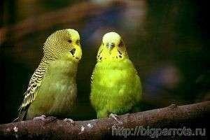 Чем кормить волнистого попугайчика: оптимальное меню для вашего питомца
